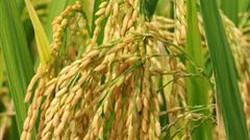 Bình Định: Sản xuất 507ha lúa thâm canh cải tiến