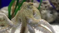 Xuất khẩu mực, bạch tuộc sang Mỹ hồi phục