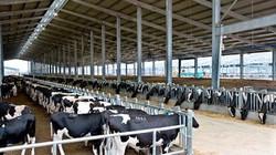Trang trại mẫu chăn nuôi không lo đầu ra