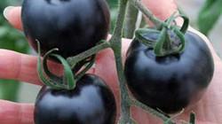"""LẠ: Cà chua đen - """"Siêu thực phẩm"""" chống lão hóa"""