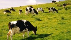 Nuôi bò sữa không dễ ăn hay câu chuyện đằng sau các đại gia nông nghiệp