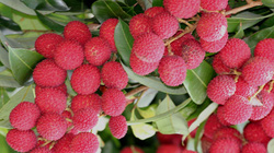 """Singapore muốn nhập nhiều trái cây """"ngon-lạ"""" của Việt Nam"""