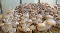 Nghệ An: Cấp chứng chỉ nghề trồng nấm cho 30 nông dân