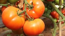 Lạc vào vườn cà chua khổng lồ, mỗi trái nặng 1kg, ở Lâm Đồng