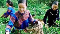 Chăm sóc cây chè ở Phú Thọ bằng phân NPK Văn Điển