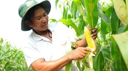 10 năm phát triển hành lang pháp lý cho cây trồng biến đổi gen