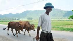 Chọn bò lõ trán mà nuôi