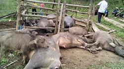 """Vụ sét đánh chết 9 con trâu: """"Gia đình tôi kiệt quệ rồi"""""""