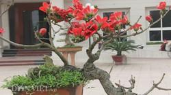 """Ngắm cây gạo """"nhí"""" nở hoa khiến dân chơi bonsai mê mẩn"""