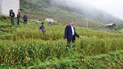 Trồng lúa mì trên đất bỏ hoang: Muốn đại trà, cần khảo sát thêm