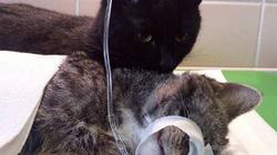 """Chú mèo """"y tá"""" đáng yêu nhất trong lịch sử"""