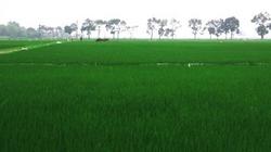 Về trách nhiệm của người sử dụng đất trồng lúa