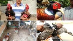 Trại gà, chim rừng quý bạc tỷ ở miền Tây