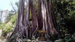 Vẻ đẹp kỳ vĩ của 4 loài cây Di sản trên đất Cù Lao Chàm