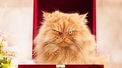 """Vẻ đẹp """"kinh hoàng"""" của con mèo giận dữ nhất thế giới"""