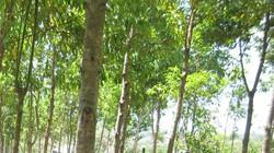 Nạn trộm vỏ cây bời lời hoành hành ở Kon Tum