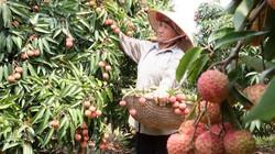 Bón phân đa yếu tố NPK Văn Điển  cho cây vải, nhãn ở Bắc Giang