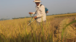 Bộn bề mưu sinh mùa gặt