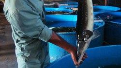 Nuôi cá nước lạnh ở Lâm Đồng: Nhiều doanh nghiệp bỏ cuộc