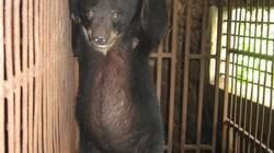 """Hơn 1.000 cá thể gấu đang """"sống khổ"""" ở Việt Nam"""