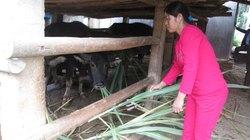 Có vốn nuôi trâu, thoát nghèo bền vững