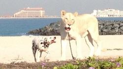 Ngắm thú cưng của đại gia Ả rập dạo chơi trên bãi biển