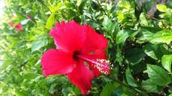 Ký ức về hoa dâm bụt!