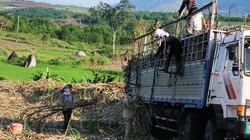 Giá giảm, năng suất thấp, người trồng mía lỗ nặng