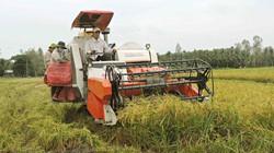 Gặp nhiều khó khăn, nông dân Nam Bộ giảm trồng lúa