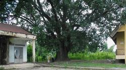 Cây Bồ đề 132 năm tuổi được công nhận là cây Di sản Việt Nam