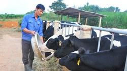 Trị bệnh sán lá gan cho trâu bò