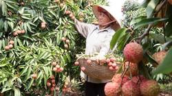 Bón phân NPK-S Lâm Thao cho cây vải, nhãn