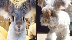 """Chú thỏ có đôi tai thiên thần """" nổi như cồn"""" trên mạng xã hội"""