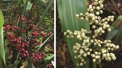 Singapore phát hiện hai loài cây mới