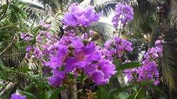 Hè này, bằng lăng lại nở hoa…