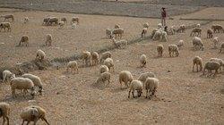 Vật vã trong đại hạn: Đàn cừu trắng trên cánh đồng chết