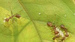 Nuôi kiến vàng để diệt sâu bệnh trên cây điều - tại sao không?