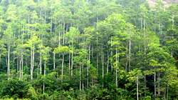 Trồng rừng sản xuất có được hỗ trợ vốn?