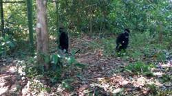 Thả 5 cá thể voọc quý hiếm về rừng