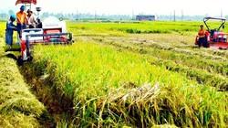 Hiệu quả của phân lân cho lúa ở Đồng Tháp Mười
