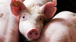 1 con lợn, 4 khâu trung gian