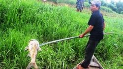 Quảng Nam: Vớt gần 1,5 tấn cá nổi bất thường trên sông