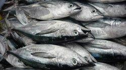 Tiếp tục đưa  cá ngừ đi Nhật