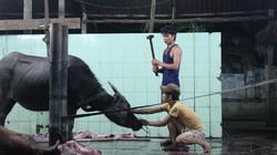 """Lúng túng giết mổ gia súc """"nhân đạo"""""""