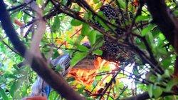 Trèo cây, hun khói săn ong ruồi lấy mật giữa phố
