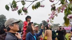 600 cành hoa anh đào sắp bung nở ở Hoàng Thành Thăng Long