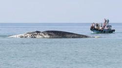 """Cá Ông 10 tấn """"lụy"""" trên vùng biển Phú Quý"""