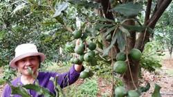 Chỉ trồng 2.350ha cây mắc ca tập trung