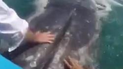 Du khách sung sướng thò tay vào miệng cá voi 36 tấn