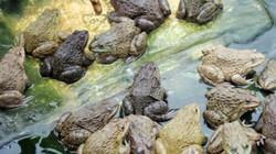 Nuôi ếch thu lãi 200 triệu đồng/năm